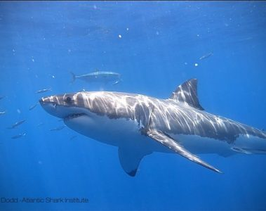 Great White Shark Rhode Island