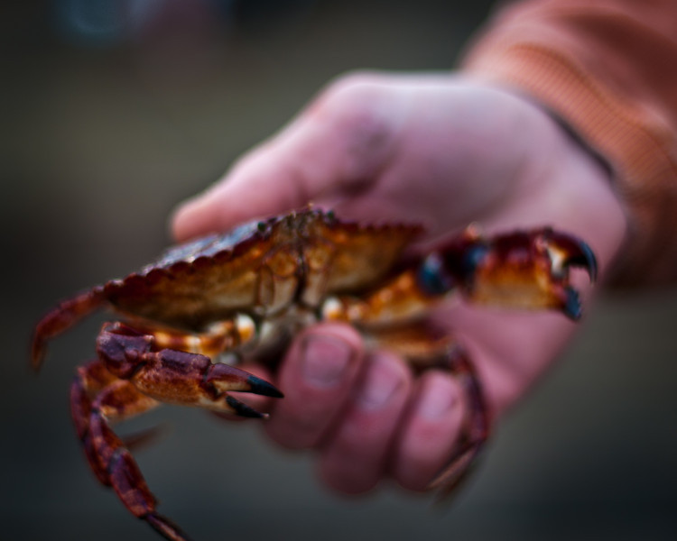 Red Rock Crab in Hand