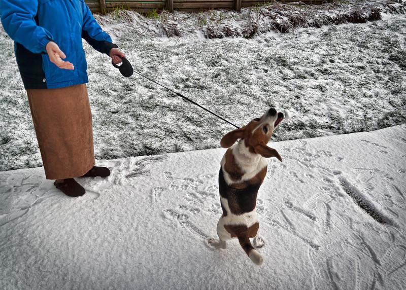 A beagle loves the snow!