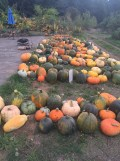 2015 pumpkins