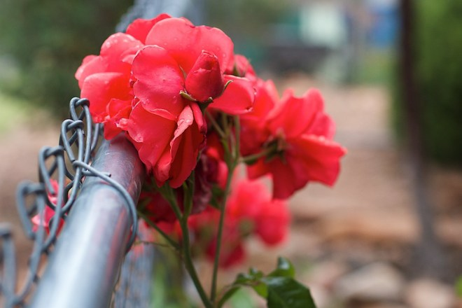 Red roses growing against a chain link fence