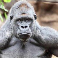 Сеть покорило видео о горилле-роботе, которую отправили в естественную среду для изучения своих «собратьев»