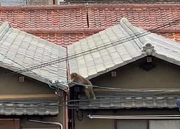 大阪市内でサル出現