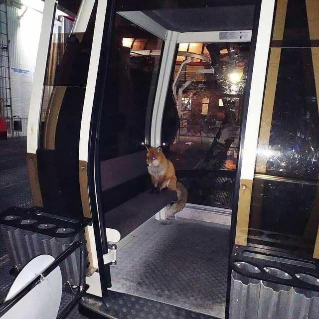 Рыжая лиса самостоятельно прокатилась в вагончике канатки на Эльбрусе