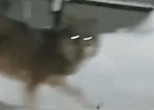 В Сыктывкаре волк держит в страхе город, но власти не ловят его, называя собакой