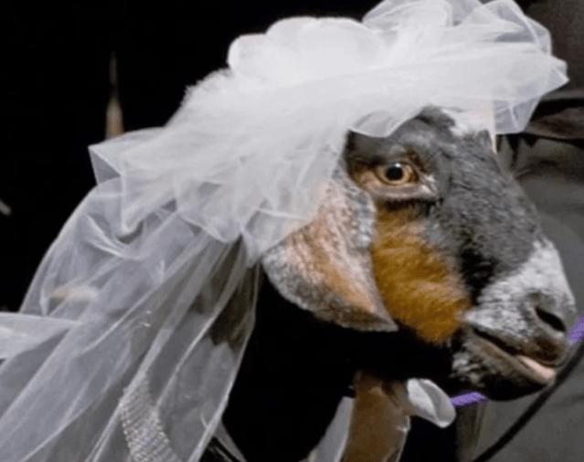 Жених со стадом коз пришел к невесте домой в Дагестане