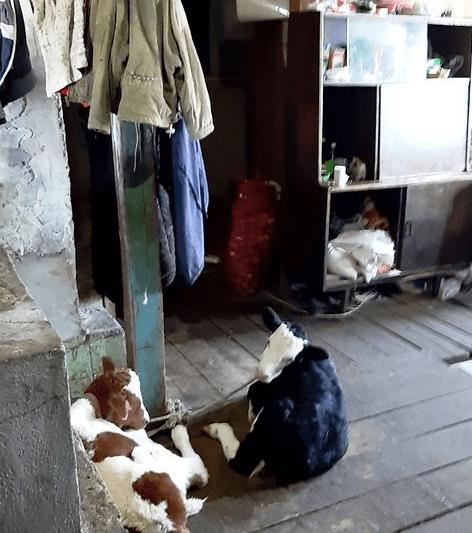 В Уссурийске маленькая девочка жила в загоне для телят на ферме