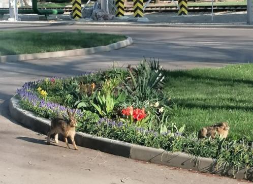Из-за режима самоизоляции по Невинномысску начали гулять зайцы