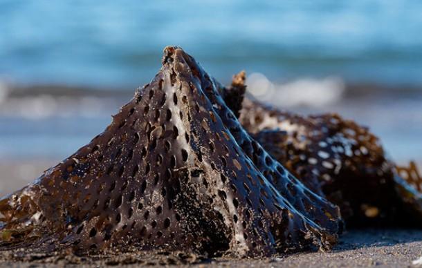 Токсичные водоросли считают причиной загрязнения на Камчатке