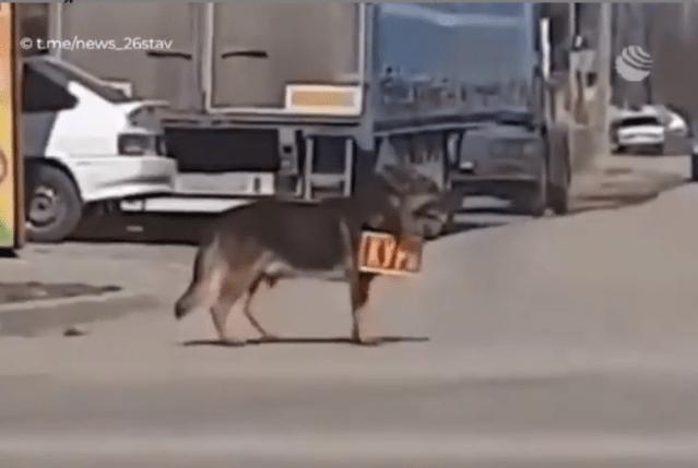 Бездомную собаку взяли на работу в магазин в Северной Осетии