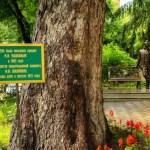 «Шаляпинская» ель борется за титул главного дерева России