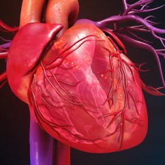 Vintage Red Real Heart Diagram 2005 Ford Taurus Spark Plug Wiring The Secret To Building A Strong Blood Vessels