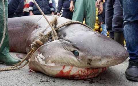 В Мраморном море выловили гигантскую акулу