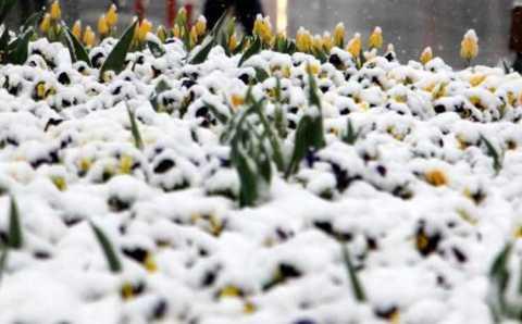 Снег на тюльпанах и весенние грозы