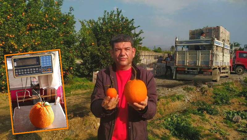 Апельсин весом 1,26 килограмма