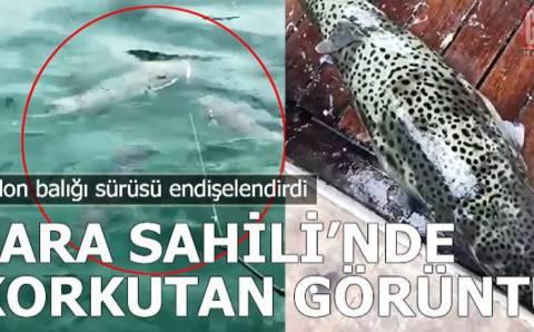 Косяки ядовитых рыб у берегов Анталии