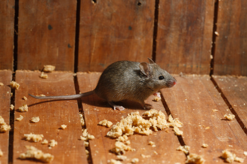 Keeping Mice Out of Your House