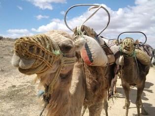 camel-9958_640