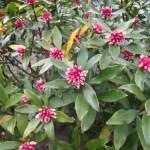 沈丁花の3種類の花言葉の由来を見ると神話や歴史にたどり着いた