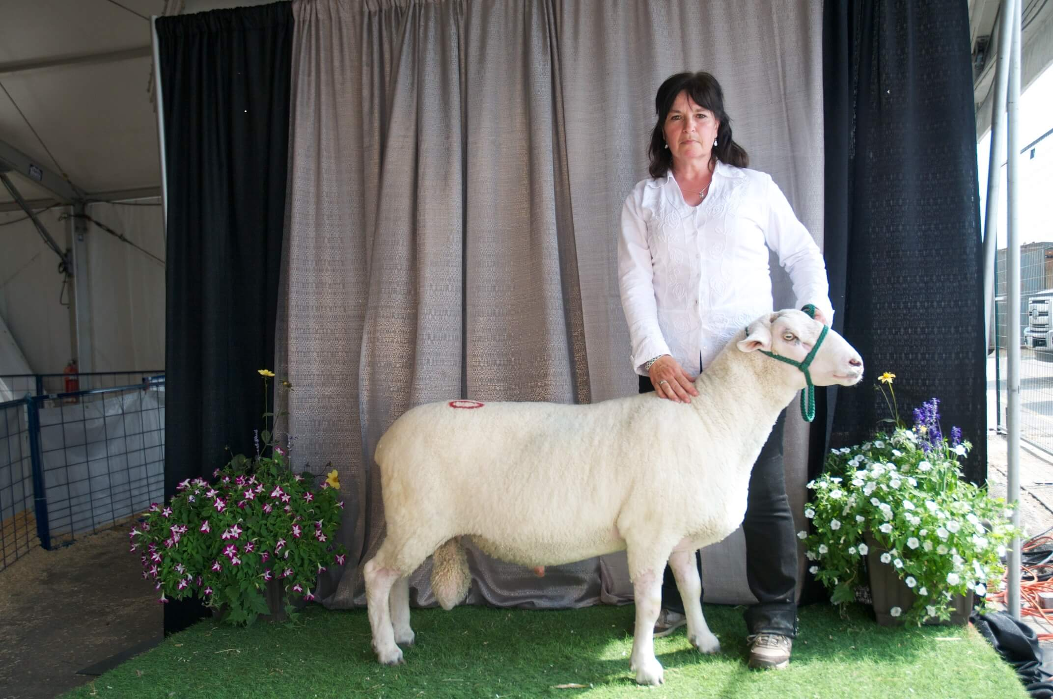 The author posing with a purebred sheep