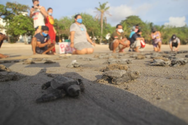 255 baby turtles released