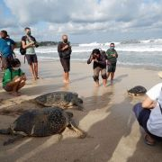 25 rescued turtles released on Kuta Beach