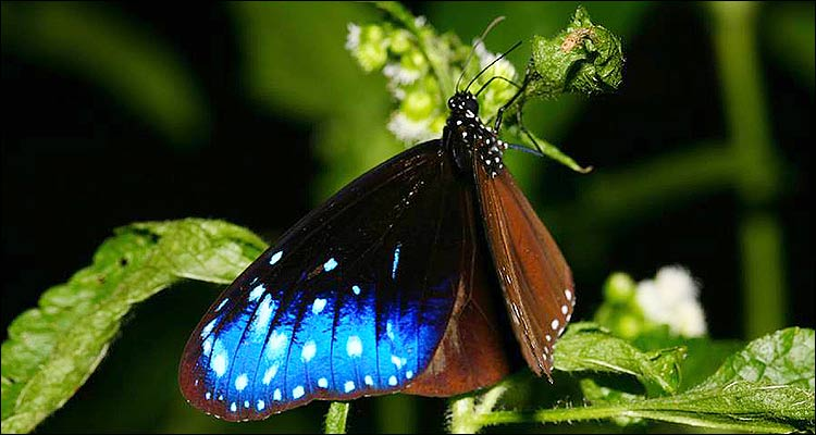 Mariposa de Taiwan, Danaide