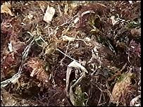 CBBC Newsround   World   Toxic seaweed sparks beach ban