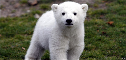 Knut the polar bear when he was a young cub