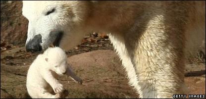 Polar Bear Vera takes care of her cub