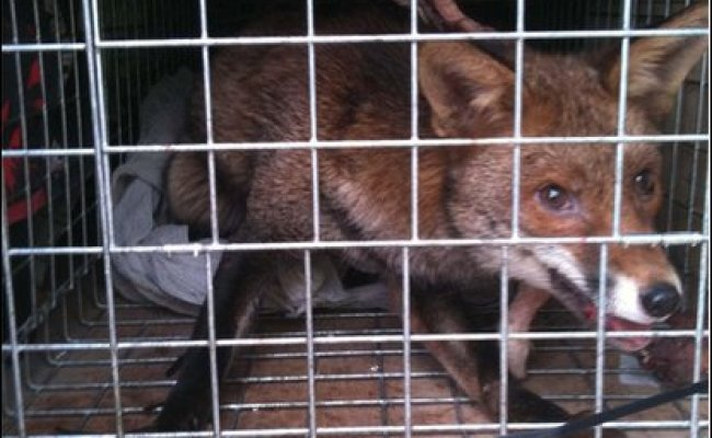 Cbbc Newsround In Pics Fearless Foxes Found In Weird