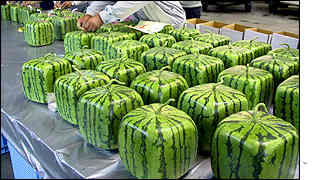Square watermelons are loaded ready to be packed and shipped