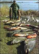 A fisherman gathers dead fish caught from the Tisza Lake