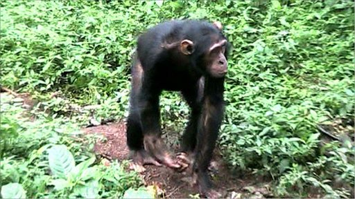 BBC Earth News Safeguarding chimps from snares