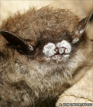 Little brown bat displaying symptoms of WNS (Ryan von Linden/New York Department of Environmental Conservation)