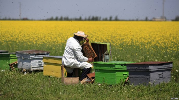 A beekeeper in a field of rapeseed in Romania, 6 May, 2011