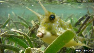 Seagrass is home to a Malagasy cowfish
