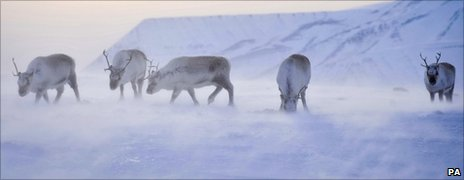 Wild reindeer foraging for food on the Arctic island of Svalbard