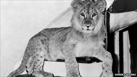 Christian the lion on the stairs (copyright Derek Cattani)