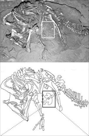 Photograph of the Protoceratops fossil and a sketch of its footprint (Image: Grzegorz Niedzwiedzki et al)