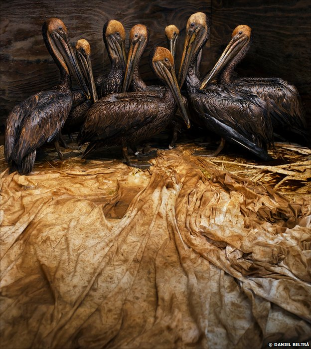 Brown pelicans oiled by BP