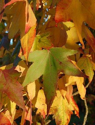 Sweetgum leaves (Image: BBC)