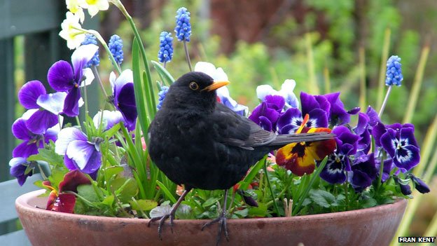 Blackbird on a plantpot