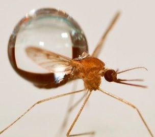 Mosquito and raindrop (c) David Hu/Georgia Institute of Technology