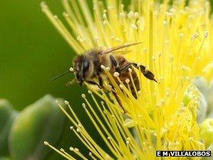 Honeybee on a flower (c) Ethel M Villalobos