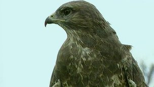 A buzzard became trapped in a licensed cage and was unable to escape