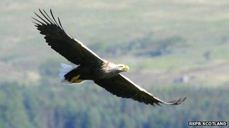 Sea Eagle in flight in Scotland