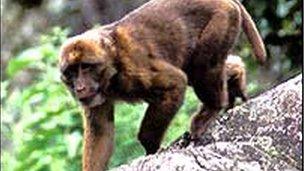 Arunachal macaque