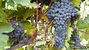 Sangiovese grape