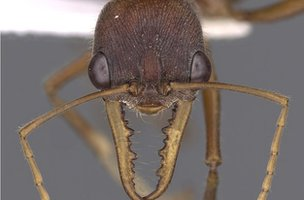 Australian jumping ant (c) Antweb